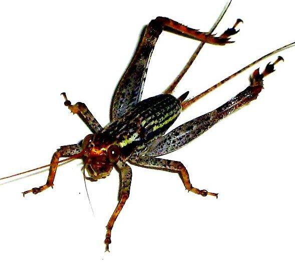 Jimminy Crickets by Katewah