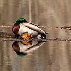 Sleepy Mallard by Debbie Oppermann