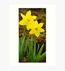 Tall Daffodil Flowers Art Print