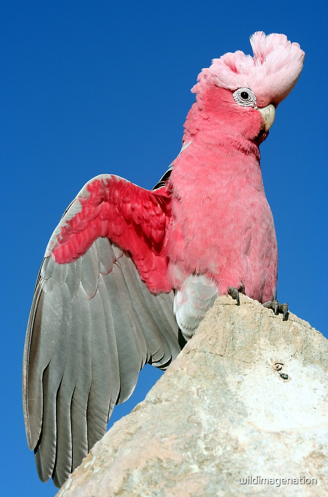 Pink Galah by wildimagenation
