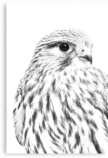 Image result for kestrel drawing
