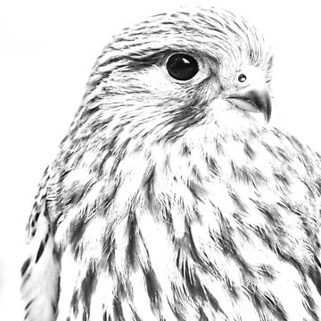Female Kestrel line drawing by Dalyn