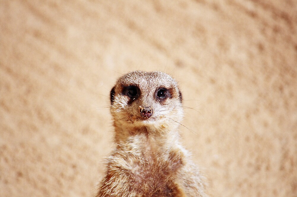 The Meerkat Stare by Adam Turner
