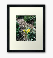 A Daffodil In The Sun Framed Print