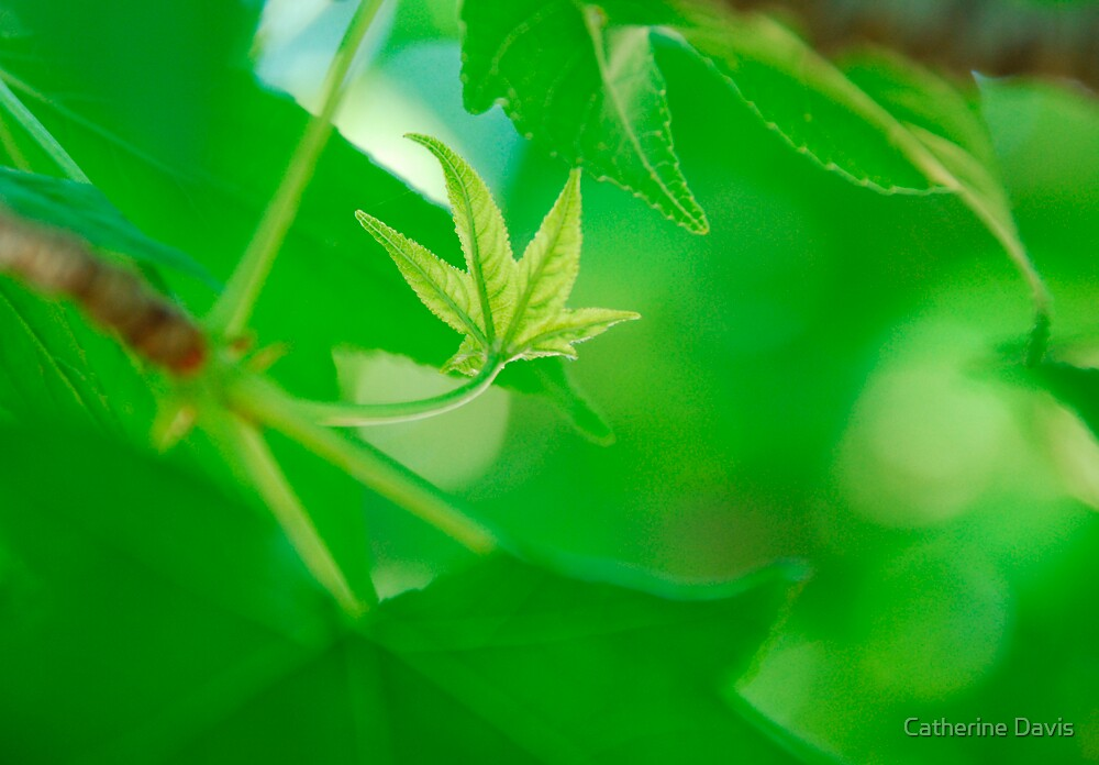 Liquid Amber Leaf by Catherine Davis