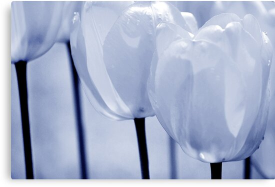 Tulips #2 by Laurie Minor