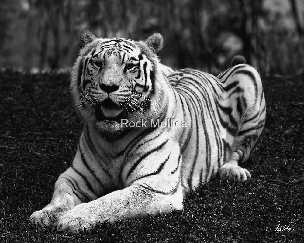 Snow Tiger In B&W by Rock Mollica
