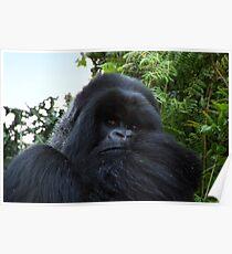 Silverback Gorilla, Hirwa Group, Rwanda, East Africa  Poster