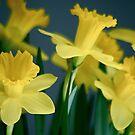Dreamy Daffodils by autumnwind