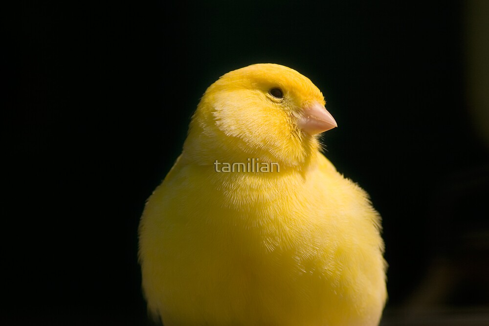 Yellow Canary by tamilian