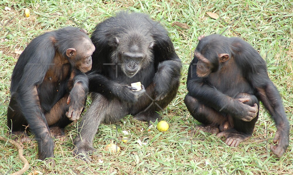 Three Chimps by ApeArt