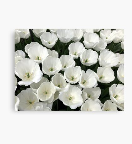Immaculate spring - white tulips from Holland Canvas Print