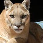 Mountain Lion Face by Kathleen Brant