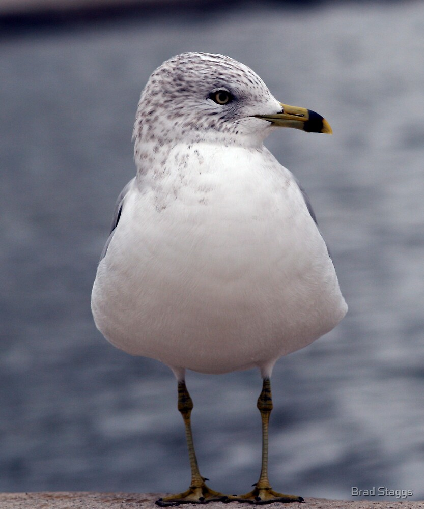 Gull in DC by Brad Staggs