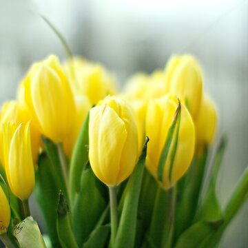Buttery Yellow Tulips - Earth Day by Photograph2u