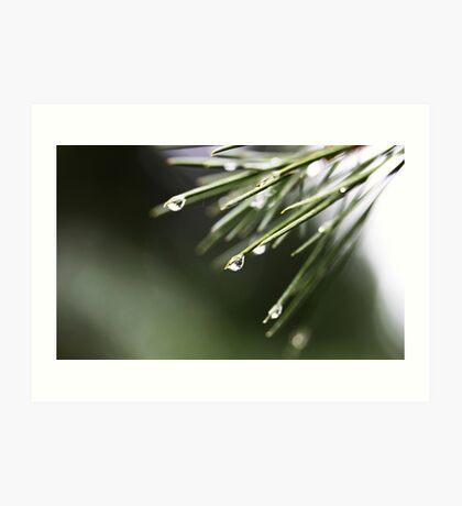 Regen und Pinien Kunstdruck