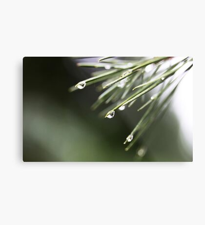 Regen und Pinien Metalldruck