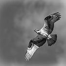 Osprey 2017-4 by Thomas Young