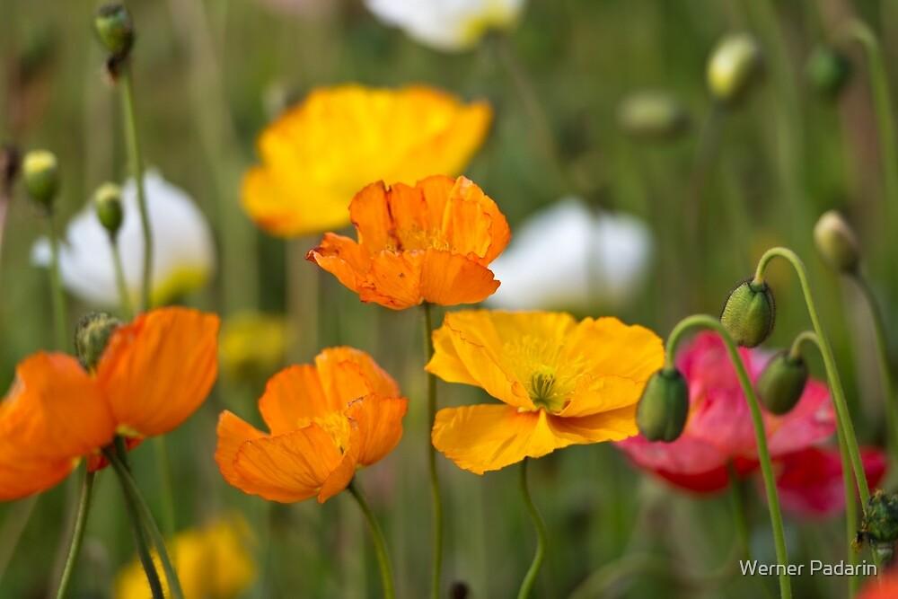 Poppies 1 by Werner Padarin