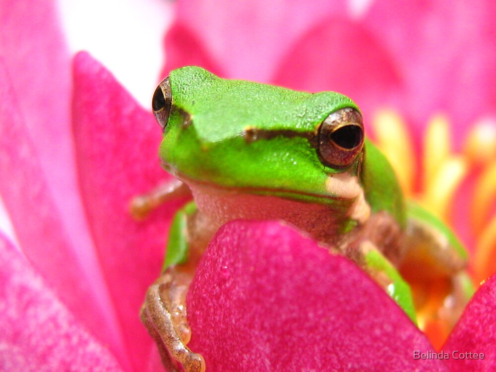 frog on lilly2 by Belinda Cottee