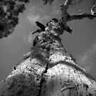 Scary Tree- Cromer Conservation Park 1 by Ben Loveday