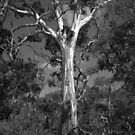 Scary Tree- Cromer Conservation Park 2 by Ben Loveday