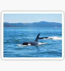 Orca Whales In the Ocean Sticker
