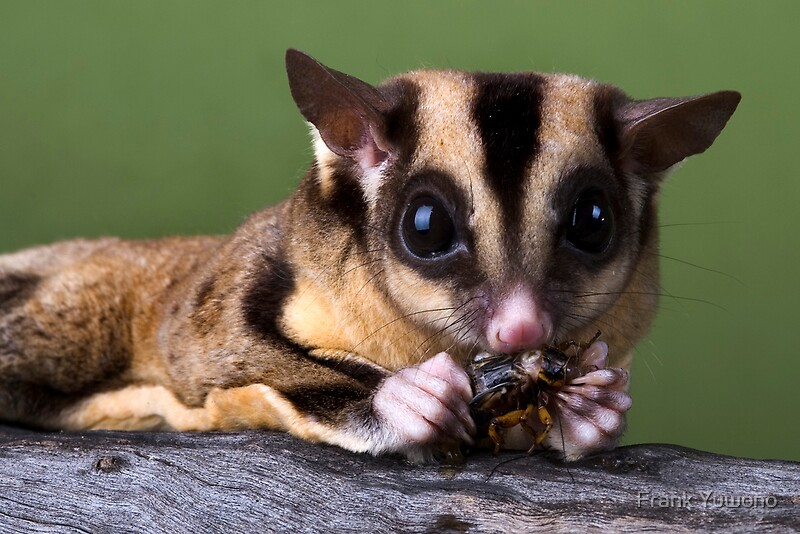Quot Sugar Glider Quot By Frank Yuwono Redbubble