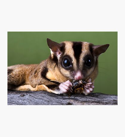 Sugar Glider Photographic Print