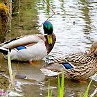 Mallard - Wild Duck by MarekM