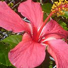 Hot Pink Hibiscus by KazM