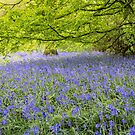 Ancient bluebell woodland by JEZ22