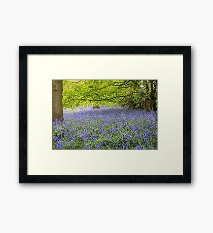 Ancient bluebell woodland Framed Print