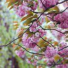 Kirschblütenbaum von beth-cole