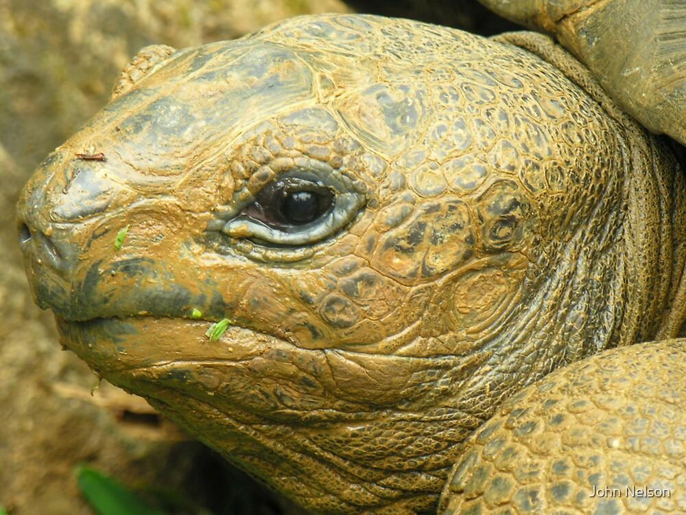 Giant African Tortoise by John Nelson