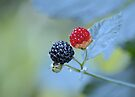 Wild Blackberries ~ ripened and ripening... by Laurie Minor