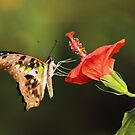 Tailed Jay Butterfly by Grant Glendinning