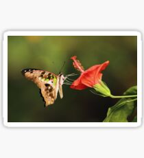 Tailed Jay Butterfly Sticker