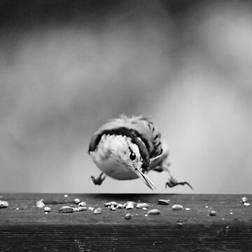 Nuthatch in midair.... by LaurieMinor
