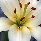 White Lily Macro by Stephen Thomas