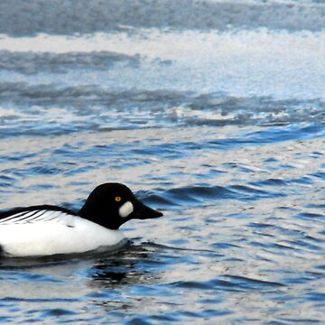 Common Goldeneye Male by photoforyou