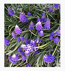 Lupin flowers Photographic Print