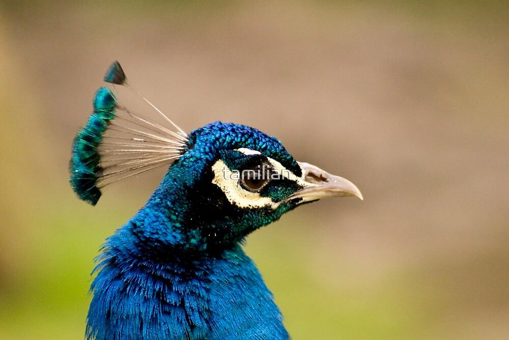 Indian peacock closeup by tamilian