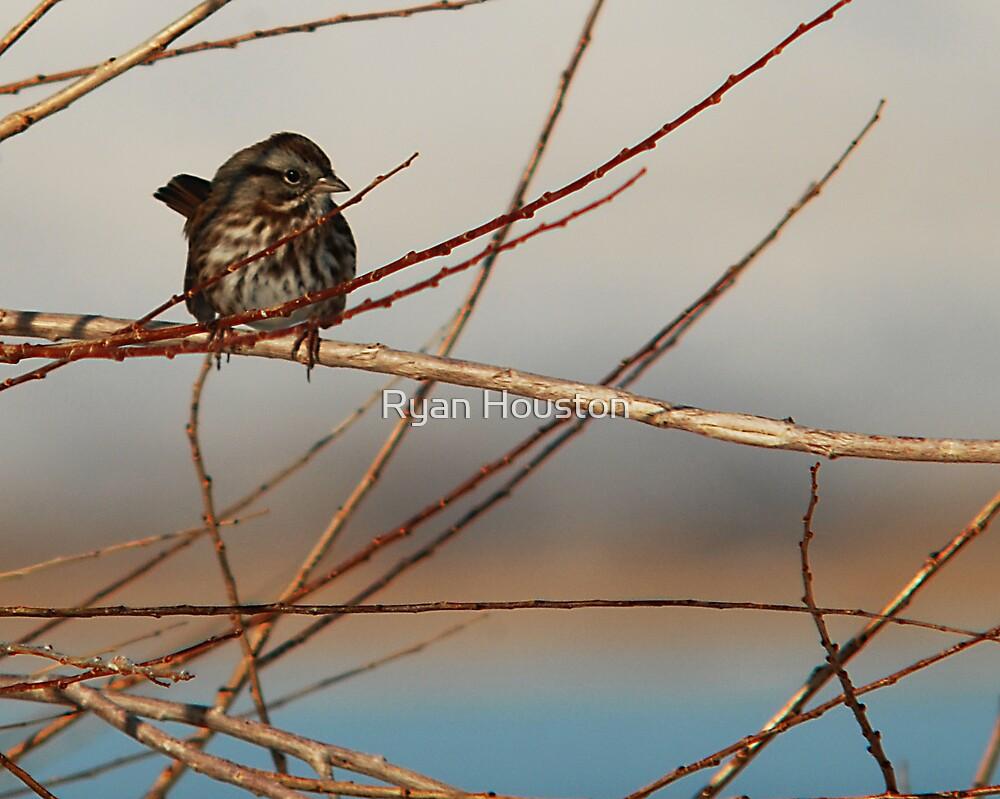Song Sparrow Blue Sky by Ryan Houston