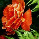 Begonia by Andi Hardwick