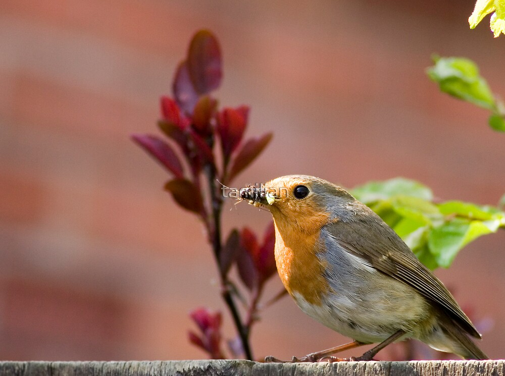 Robin with food by tamilian