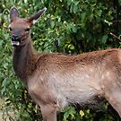 Elk Calf Portrait #1 by Ken McElroy