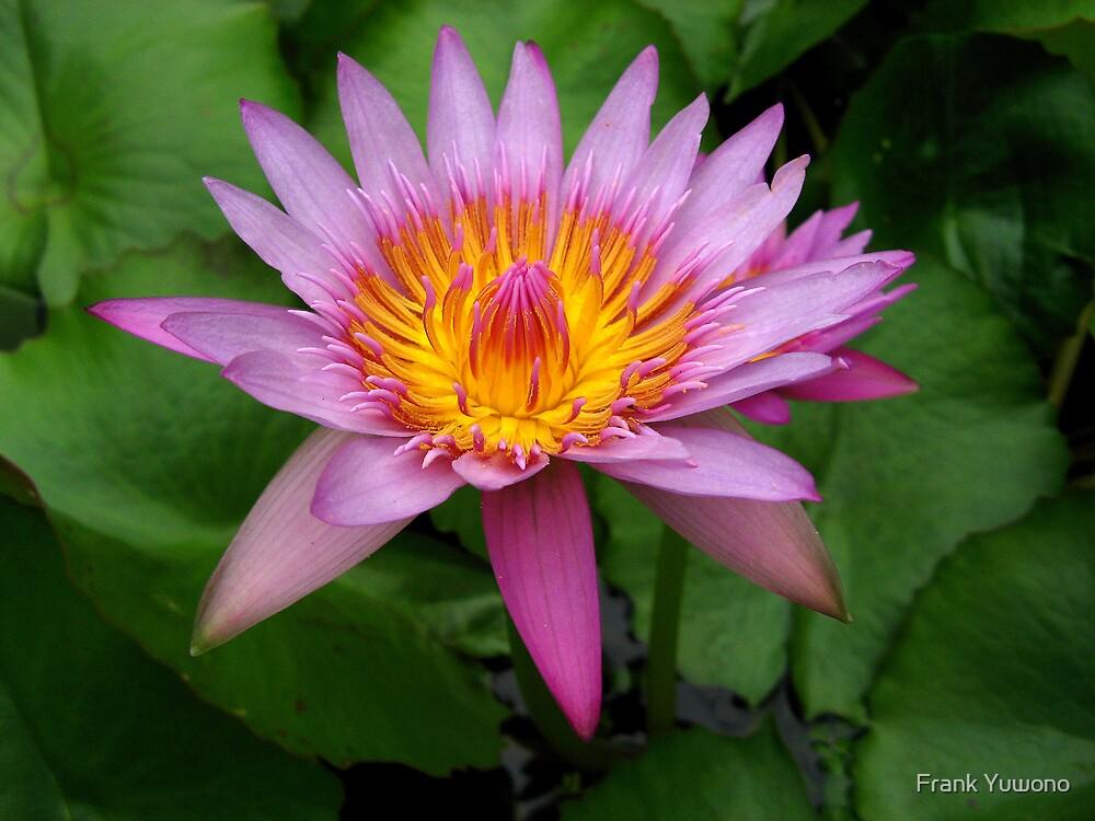 Water Lily Flower by Frank Yuwono