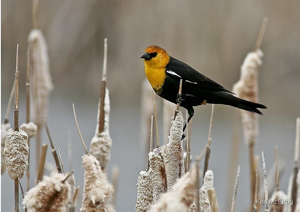 Yellow Headed Blackbird by Ken McElroy
