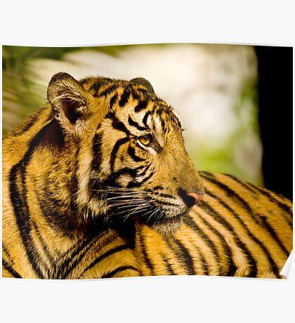 Resting Tiger Poster